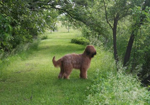 Briard Breeder - A place where Briard puppies live -