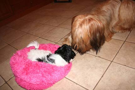 What Dog Is Known As The Babysitter Picturejpg | Dog Breeds Picture